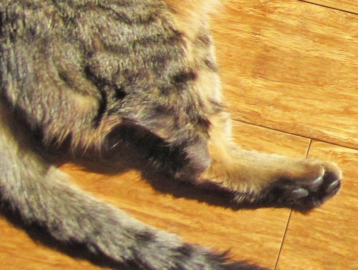 Cat Broken Back Leg Symptoms