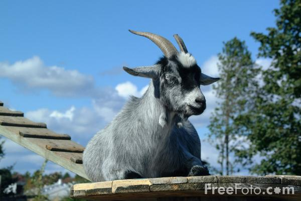 R Goats Good Pets The Mighty Goat