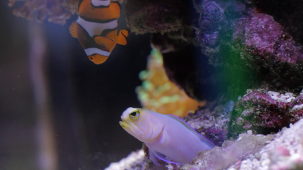 The Jawfish and the clown