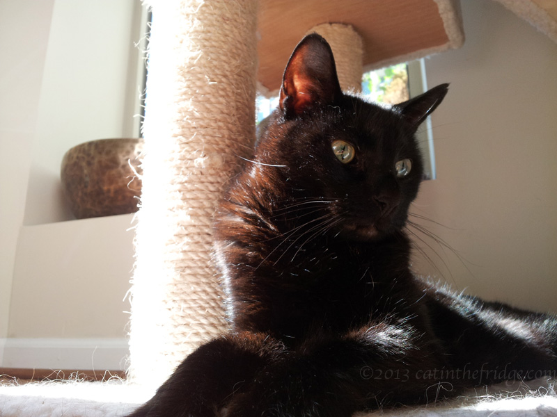 Our black cat, Niles, enjoying a sun puddle.