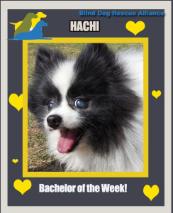 Hachi from Blind Dog Rescue Alliance!